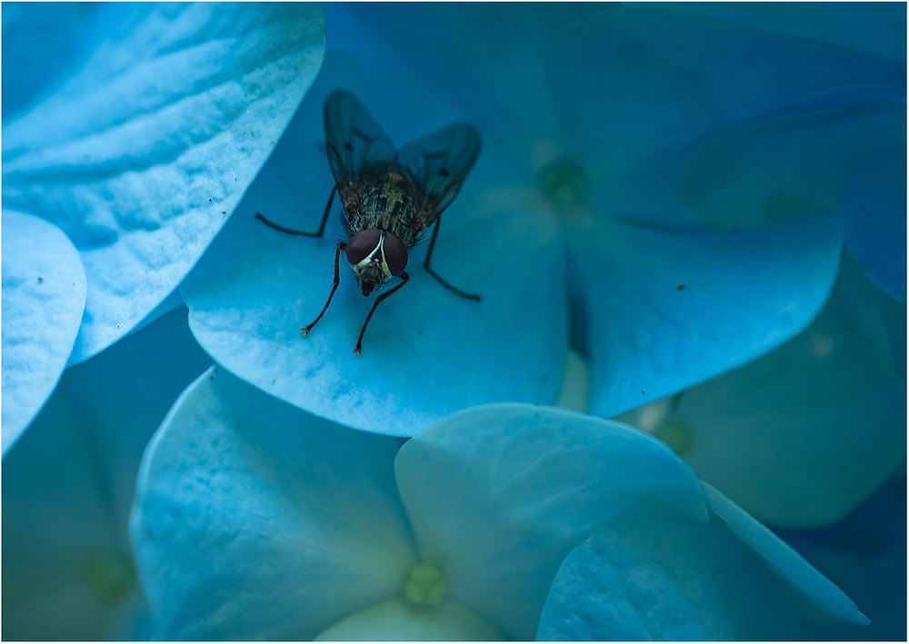 A fly on a hydrangea's petals
