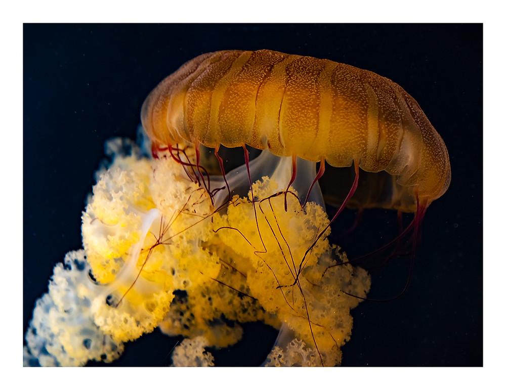 Jellyfish by Dan 2018