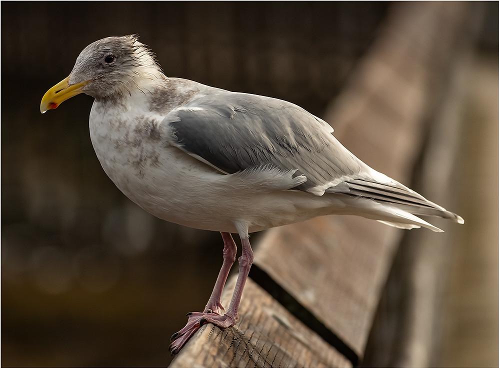 A scruffy gull by Dan 2021