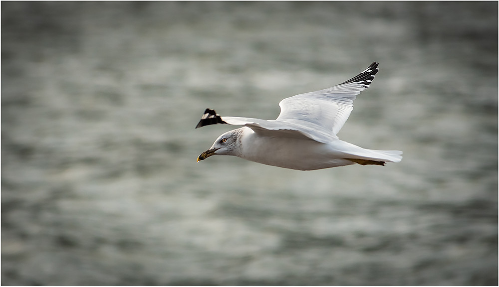Seagull by Dan 2020
