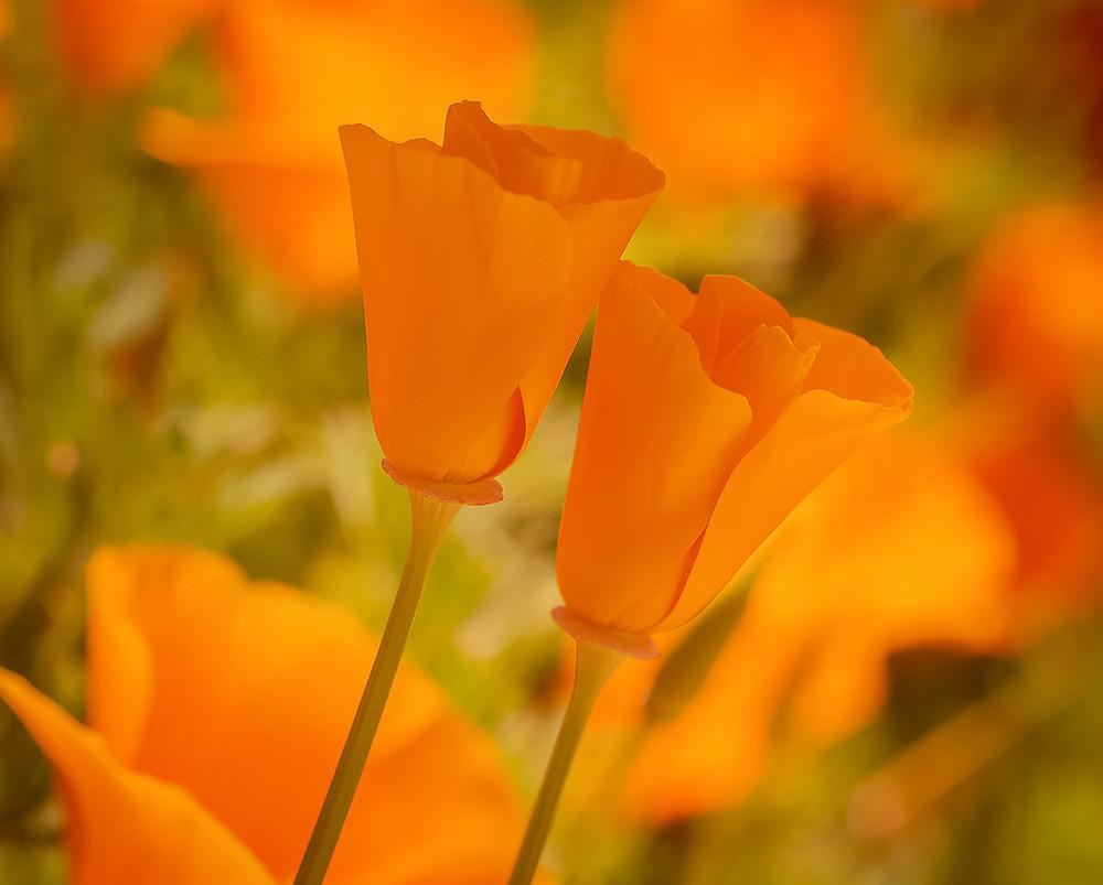 Poppies by Dan 2020