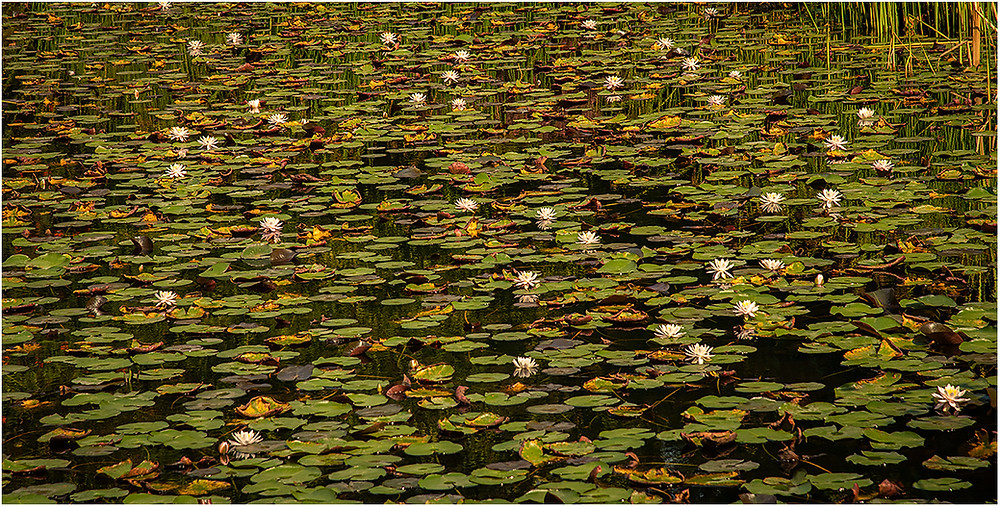 Lily Pond by Dan 2020