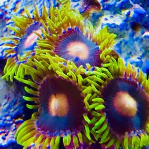 sunflower polyps