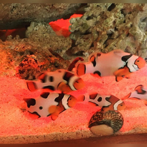 Acclimated Picasso clown fish