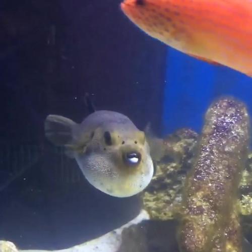 Dancing puffer fish