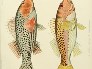 Salmon colours