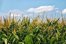 corn_field_arable_217779.jpg