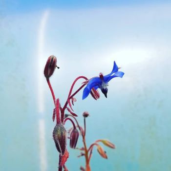Borage Seed