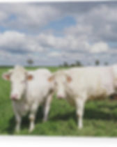 two-white-cows-looking-at-camera-in-bryt