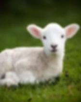Middle-Eastern-wars-hit-Moldovan-lamb-ex