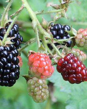 Ripe,_ripening,_and_green_blackberries.j