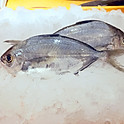 Butterfish Ebodai エボ鯛