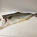 Spanish Mackerel サワラ