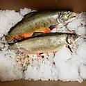 Scottish Steelhead Salmon