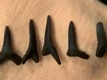 50,000,000 year old shark teeth