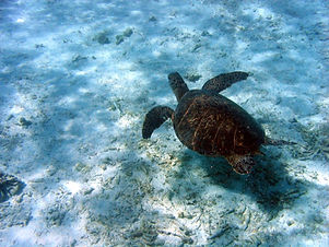 Green sea turtle underwater (NOAA Photo Library).jpg