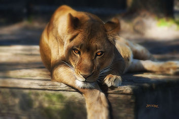 lion, ,eyes, shade, wildlife