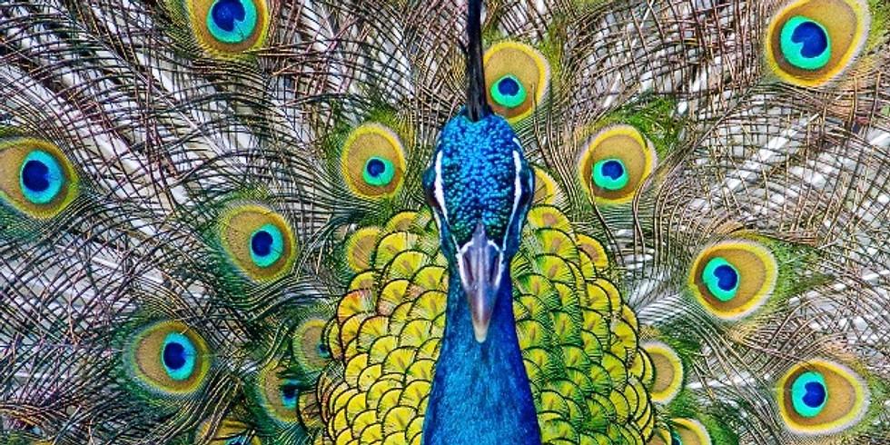 VIRTUAL: Birdsongs 101