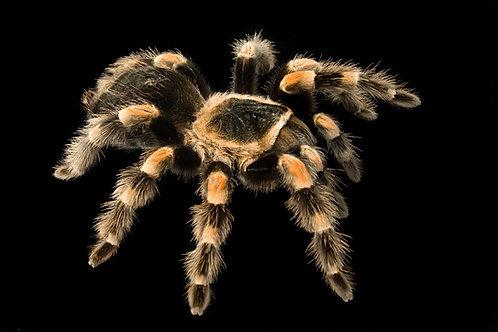 Angst vor Spinnen/Arachnophobie