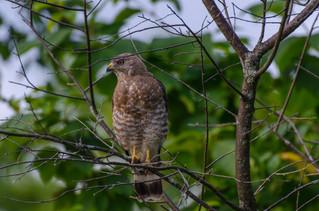 Peregrin Falcon - Killington, VT