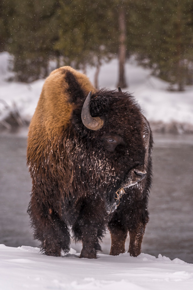 Bison in Snow - Yellowstone, MT
