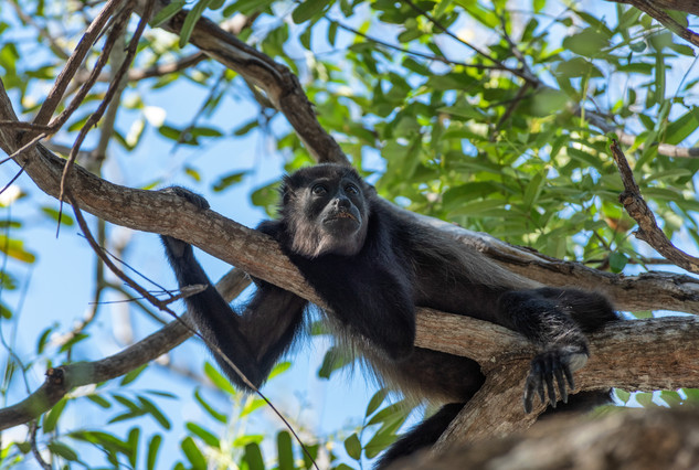 Howler Monkey relaxing - Guanacaste, CR