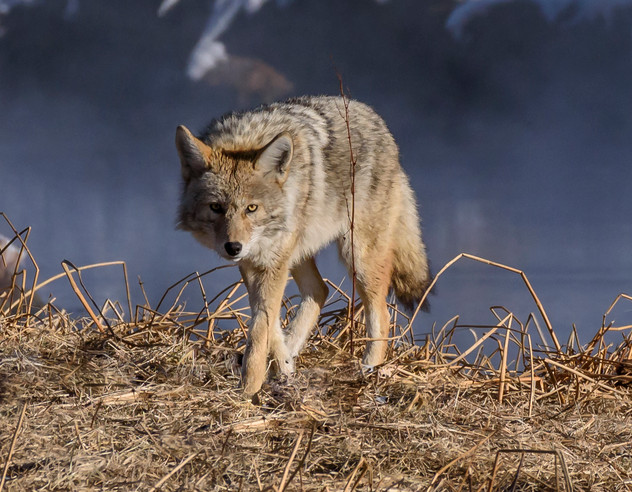 Coyote on the Madison - Yellowstone, MT