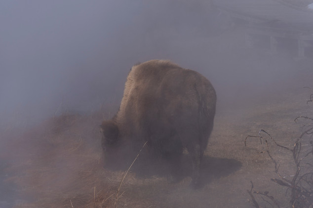 Bison in fog - Yellowstone, MT