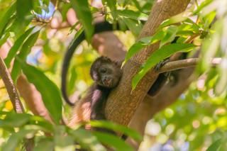 Howler Monkey baby - Guanacaste, CR