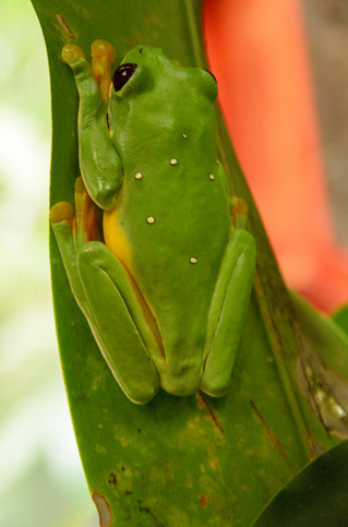 Red-Eyed Tree Frog - St. Helena, CR