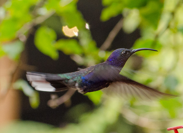Humming Bird in flight - St. Helena, CR
