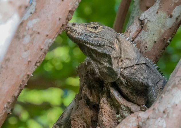 Iguana - Playa Hermosa, CR