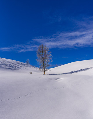 Winter tree 2 - Yellowstone Park, MT