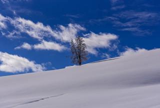 Winter tree 3 - Yellowstone Park, WY