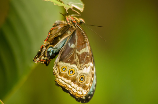 Moth - St. Helena, CR