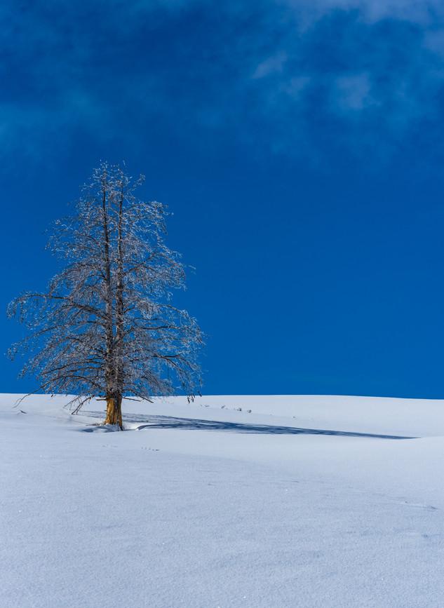Winter Tree - Yellowstone Park, WY