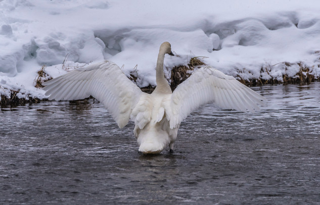 Swan - Yellowstone, MT