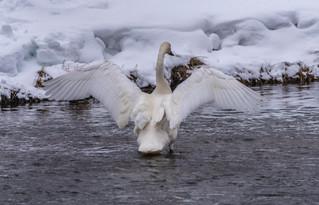 Swan - Yellowstone, MT