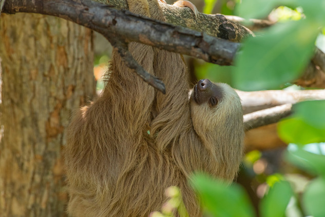 3 Toed Sloth - Guanacasta, CR