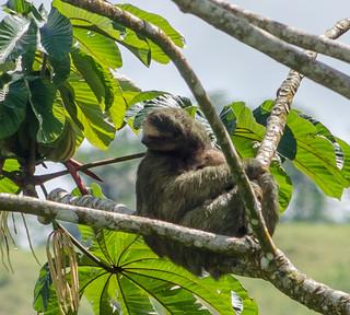 Tree Sloth - Arenal, CR