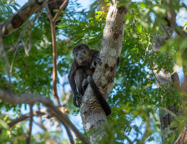 Howler Monkey - Guanacaste, CR