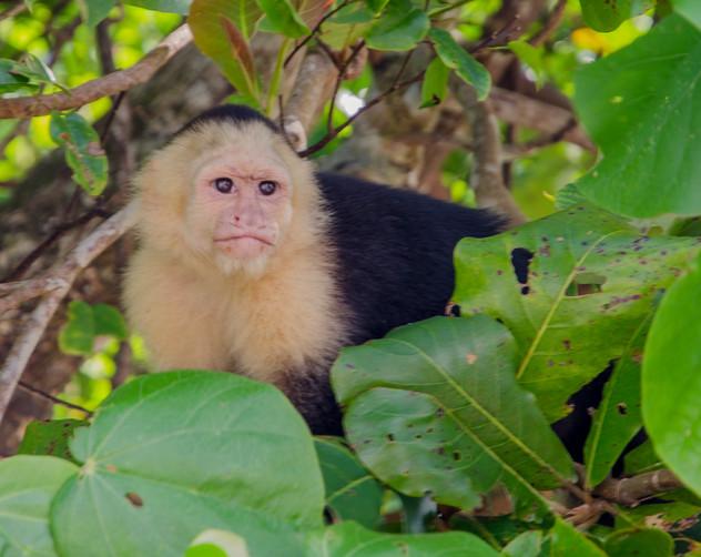 Capuchin Monkey - Guanacaste, CR