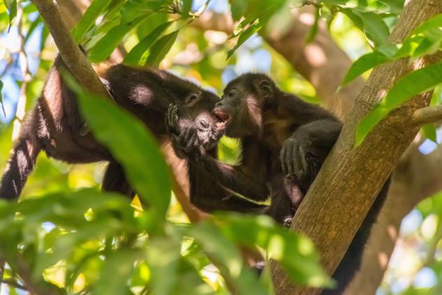 Howler Monkey playing - Guanacaste, CR