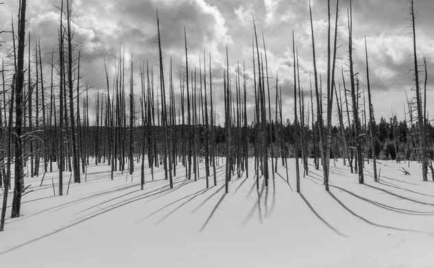 Bare Trees - Yellowstone Nat'l Park, WY