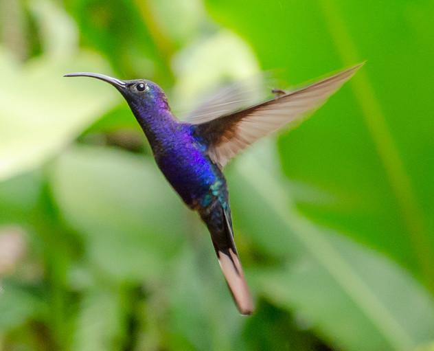 Humming Bird - St. Helena, CR