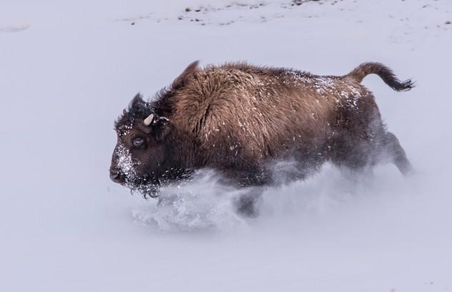 Running Bison Yellowstone National Park, MT