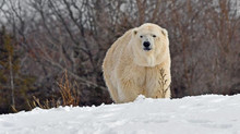 Another Jailed Polar Bear Dead