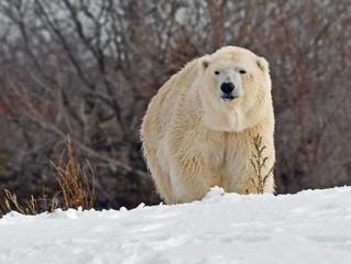 Another Jailed Polar Bear Dead