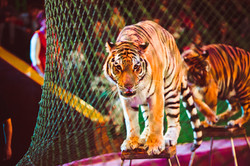 Tiger in Circus.Shutterstock.2017