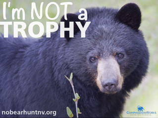 The Fight Against the Nevada Bear Hunt